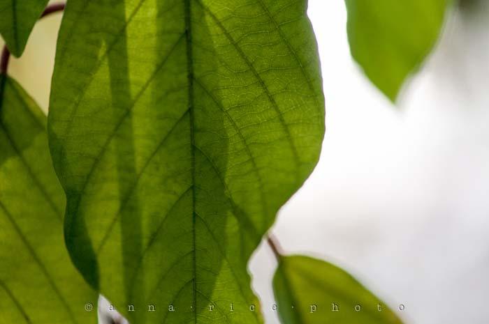 Yr5•014-365•Anna's Leaf