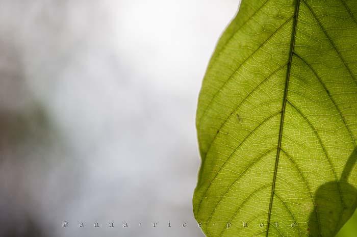 Yr5•015-365•Anna's Leaf