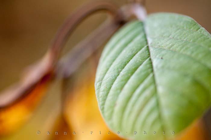 Yr5•017-365•Anna's Leaf