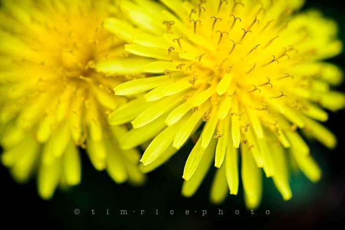 Yr5•219/365•1680 Dandelion May 8, 2014