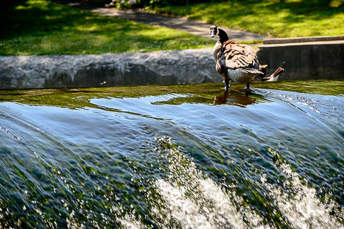 Yr5•279-365•1738•South Natick Geese