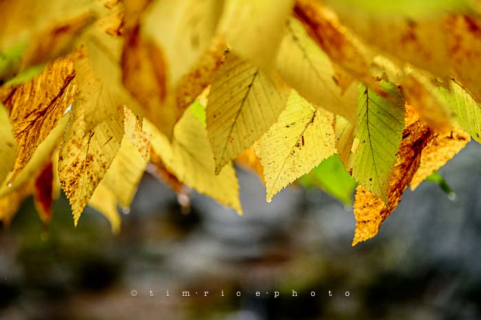 Yr6•014/365•1840 Yellow Leaves October 14, 2014