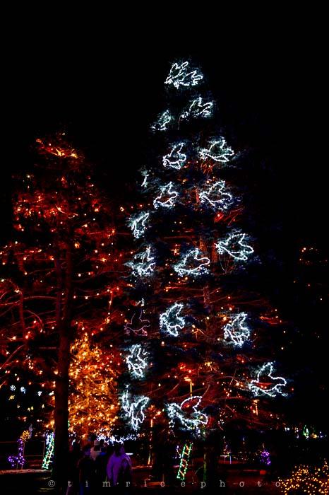 Yr6•086-365•1908•La Salettes Christmas Tree