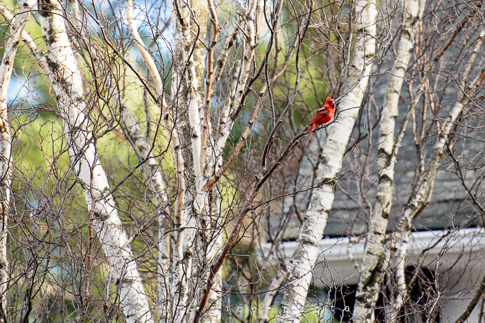 Yr6•195-365•2021 Red Bird White Trees April 13, 2015