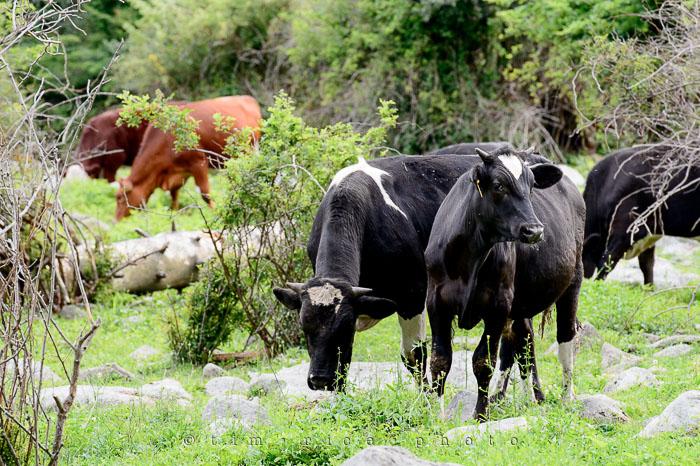 Yr6•268-365•2088•Cow
