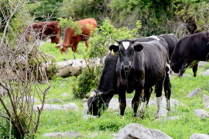 Yr6•269-365•2088•Cow