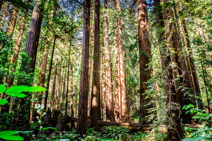 Yr6•279-365•2092•The Muir Woods