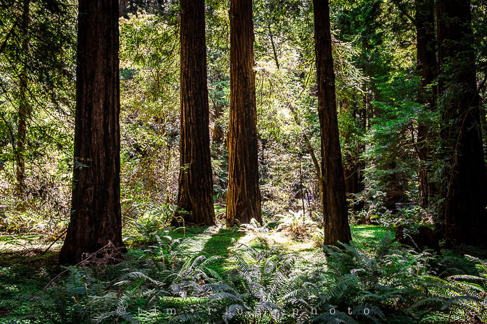 Yr6•286-365•2092•The Muir Woods