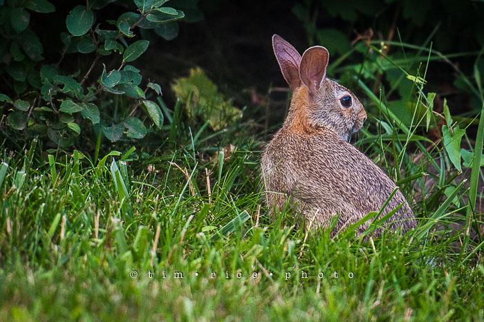 Yr6•293-365•2119•Yard Bunny