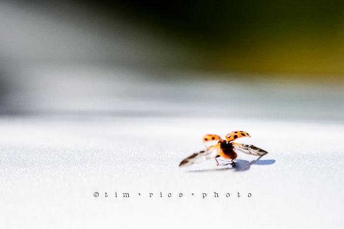Yr6•311-365•2137•The Lady Bug
