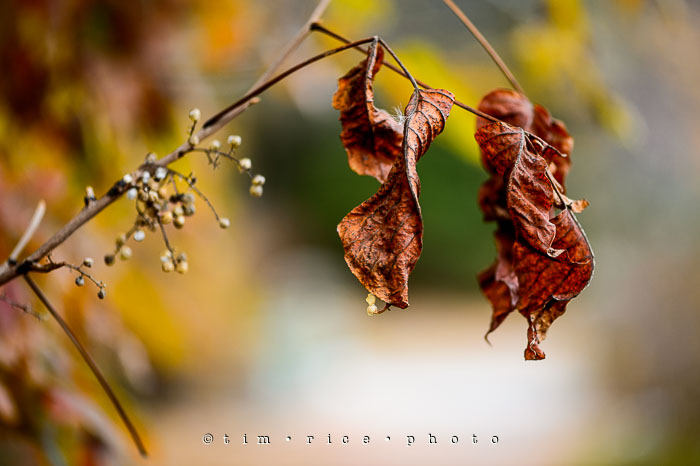 Yr7•033/365•2224 Autumn Leaves November 2, 2015